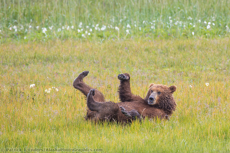 alaska bear photos