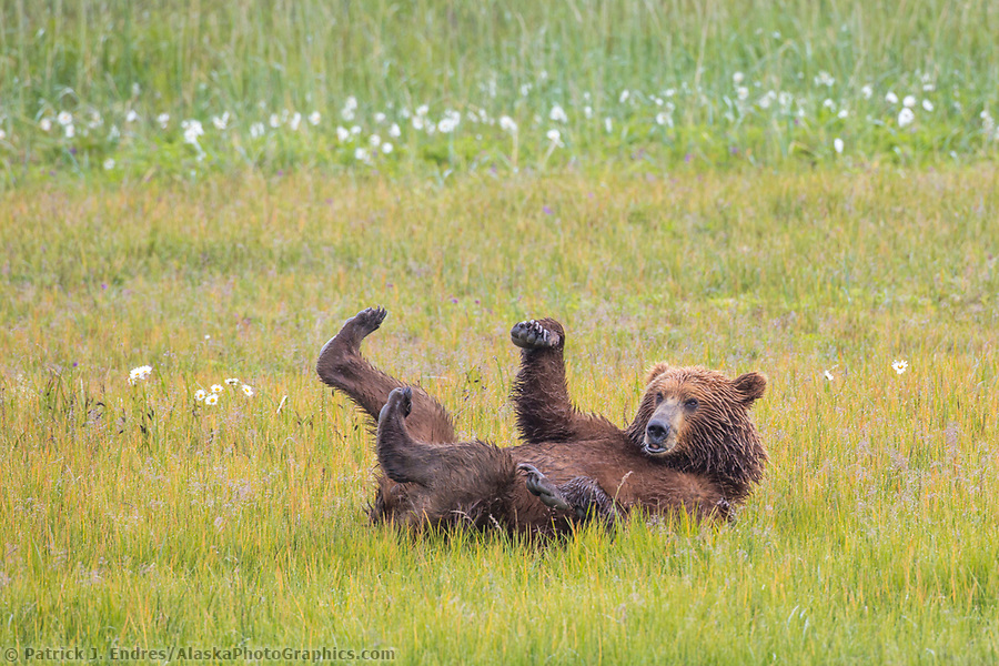 Coastal brown bear rolls in a grassy meadow with its feet sticking in the air. Katmai National Park, Alaska Peninsula, southwest Alaska. (Patrick J. Endres / AlaskaPhotoGraphics.com)