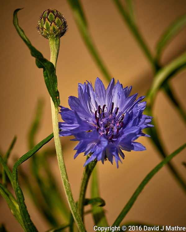 Bachelor Button (Blue Cornflower) Wildflower. Image taken with a Nikon D800 camera and 105 mm f/2.8 macro lens (ISO 100, 105 mm, f/11, 1/400 sec). (David J Mathre)
