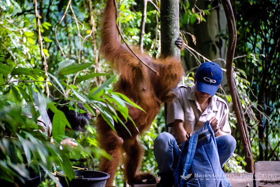 Indonesia, Sumatra. Bukit Lawang. Gunung Leuser National Park. The orangutan sanctuary of Bukit Lawang is located inside the park. At the feeding platform. (Photo Bjorn Grotting)