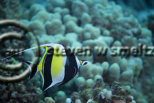 Moorish Idol, Zanclus cornutus, Little Cathedrals, (Linnaeus, 1758), Lanai Hawaii, (Steven Smeltzer)