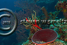 Deepwater Sea Fan, Iciligorgia schrammi, Grand Cayman (StevenWSmeltzer.com)