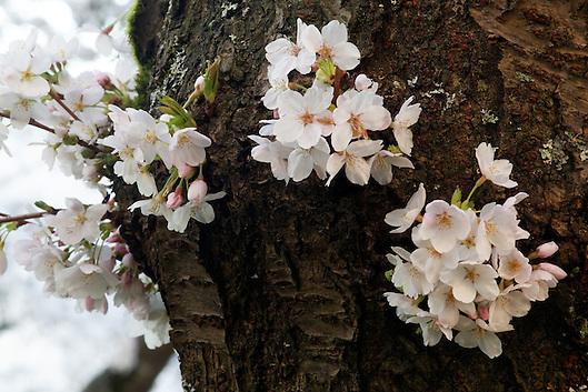 Blossoms on Yoshino cherry tree, Liberal Arts Quad, University of Washington, Seattle, Washington, USA (Copyright Brad Mitchell Photography.9601 Wall St.Snohomish, WA 98296.USA.425-418-7279.brad@bradmitchellphoto.com)