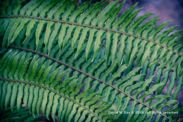 6.28.18 - Fern Appeal.... (© David M Sax 2018 - all rights reserved)