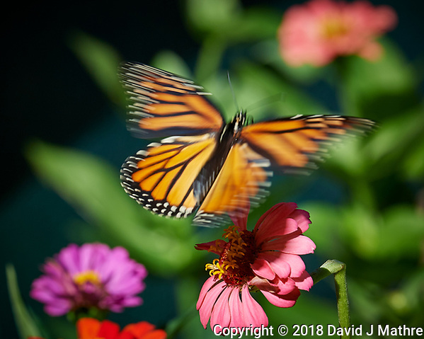 Monarch Butterfly Leaving a Zinnia Flower. Image taken with a Nikon D5 camera and 70-200 mm f/2.8 lens (ISO 100, 200 mm, f/8, 1/250 sec) (DAVID J MATHRE)