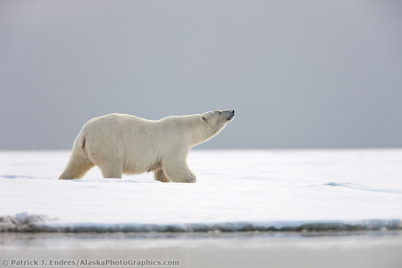 Adult female polar bear stands and sniffs the air on a snowy island along the shores of the Beaufort sea, arctic, Alaska. (Patrick J. Endres / AlaskaPhotoGraphics.com)