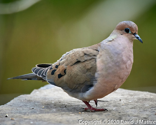 Mourning Dove. Image taken with a Nikon D5 camera and 600 mm f/4 VR lens (ISO 1400, 600 mm, f/5.6, 1/1250 sec) (DAVID J MATHRE)