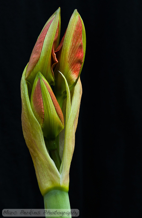 An amaryllis ([Hippeastrum] sp. cultivar) inflorescence pictured just as its flower buds are emerging from their sheath.  There are three red and green flowers easily visible.  These flowers are growing from a scape, a leafless stem that is used to support flowers.  The three emerging buds are surrounded by two spathes, bracts (modified leaves) that surround the flowers as they develop (and then stay present as the flowers bloom).  This image was taken outdoors using natural lighting on an intact plant growing in my yard; no flowers were destroyed in the making of this image :) (Marc C. Perkins)