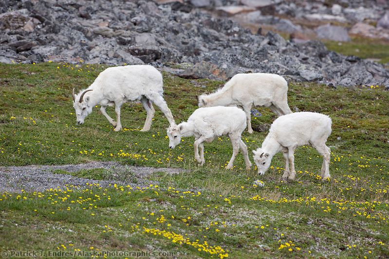 Dall sheep ewes graze on the tundra vegetation, decorated by ross avens, in the Brooks mountain range, Alaska. (Patrick J. Endres / AlaskaPhotoGraphics.com)