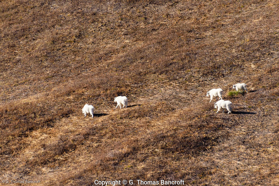Five mountain goats moved across Van Trump Park on the Southwest side of Mt. Rainier on this late October day. (G. Thomas Bancroft)