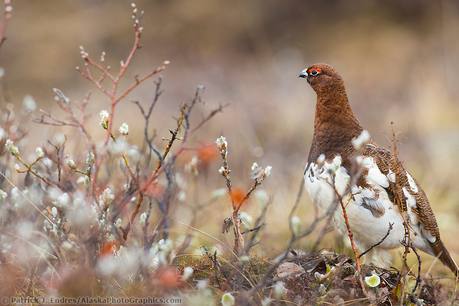 ptarmigan photos: Male willow ptarmigan in spring plumage, Denali National Park, Alaska. (Patrick J. Endres / AlaskaPhotoGraphics.com)