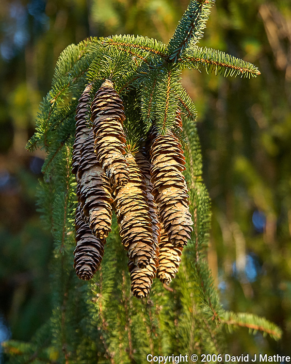 Pine cones in the afternoon sun. Backyard autumn nature in New Jersey. Image taken with a Nikon D2xs camera and 80-400 mm VR lens (ISO 400, 250 mm, f/5.6, 1/125 sec). (David J Mathre)