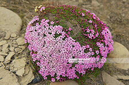 Purple saxifraga blossoms at the moss covering a stone in Longyearbyen, Spitzbergen, Norway. (Dmitry Chulov)
