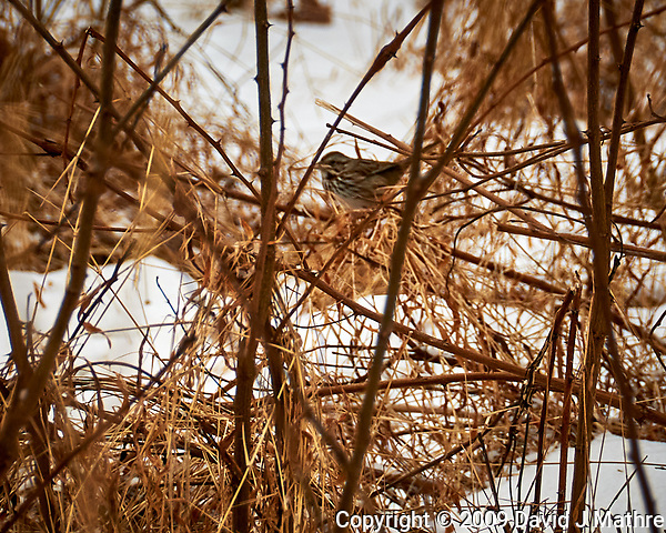 White-throated Sparrow on a bush at the Sourland Mountain Preserve. Image taken with a Nikon D300 camera and 18-200 mm VR lens (ISO 200, 200 mm, f/8, 1/250 sec). (David J Mathre)