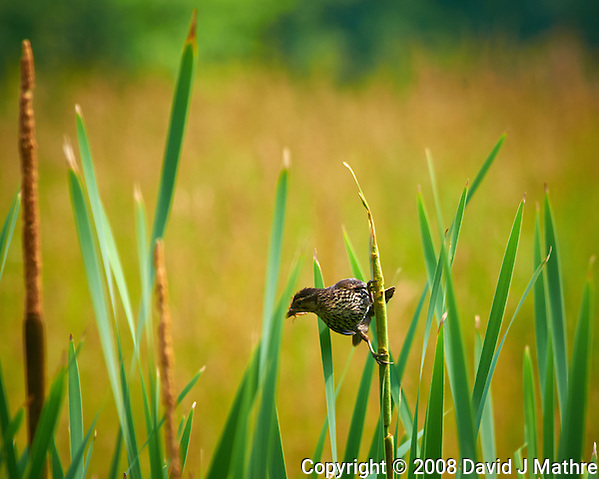 Female Red-Winged Blackbird with an Insect. First Day of Summer at the Sourland Mountain Preserve in New Jersey. Image taken with a Nikon D300 and 80-400 mm VR lens (ISO 200, 400 mm, f/8, 1/200 sec). (David J Mathre)