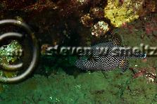 Spotted Puffer, Arothron meleagris, (Anonymous, 1798), o'opu hue, Molokai Hawaii (Steven W SMeltzer)