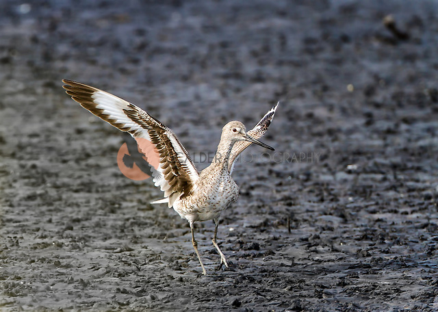 Willet taking of in flight from mudflats (Sandra Calderbank, sandra calderbank)