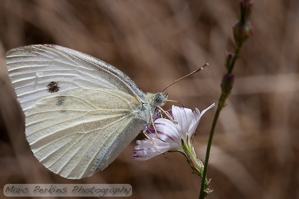 A white butterfly stops for a meal on a purple and white flower at Crystal Cove State Park.  I love the butterfly's black and grey eyes, and the speckled pattern on its wings.  I believe this is a cabbage butterfly (aka small white; _Pieris rapae_) in family Pieridae. (Marc C. Perkins)