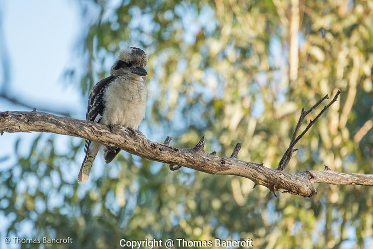The laughing kookaburra turned around to show its creamy white chest and belly. (G. Thomas Bancroft)