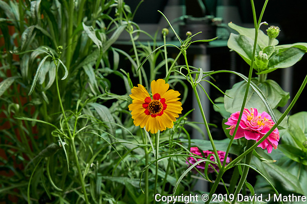 Farm 04 - Left (Day 57). Plains Coreopsis and Lilliput Zinnia flowers. Image taken with a Leica TL-2 camera and 35 mm f/1.4 lens (ISO 640, 35 mm, f/8, 1/80 sec). (DAVID J MATHRE)