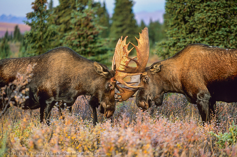 Bull Moose spar with antlers during the rut seasons in the boreal forest, Denali National Park, Alaska (Patrick J. Endres / AlaskaPhotoGraphics.com)