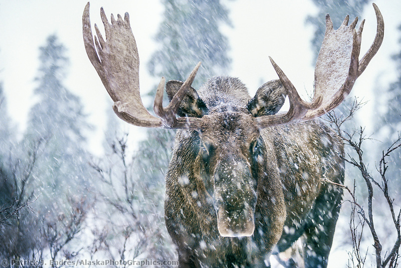 Mose photos: Bull moose in snowstorm in the boreal forest of Denali National Park, Alaska. (Patrick J. Endres / AlaskaPhotoGraphics.com)