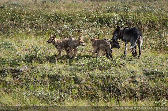 The alpha male wolf of the Grant Creek gray wolf pack keeps watch on his six pups near Stony Creek in Denali National Park and Preserve. This photo was taken on July 31, 2004. (John L. Dengler)