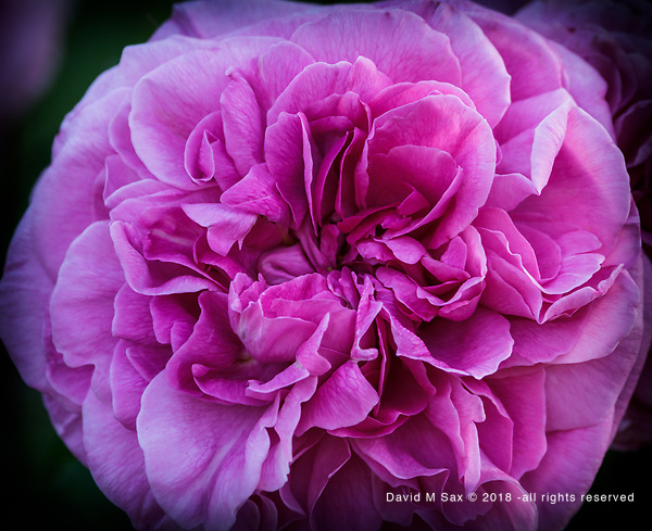 5.30.18 - Pinked.... (© David M Sax 2018 - all rights reserved)