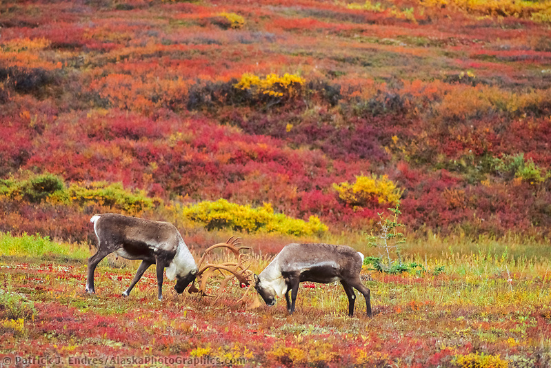 Bull Caribou sparring on the colorful autumn tundra, Denali National Park, Alaska (Patrick J. Endres / AlaskaPhotoGraphics.com)