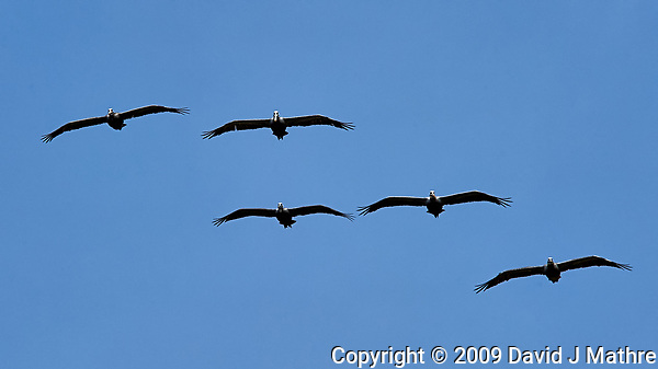 Five Pelicans in Formation Flight. Image taken with a Nikon D3 camera and 80-400 mm VR lens. (David J Mathre)