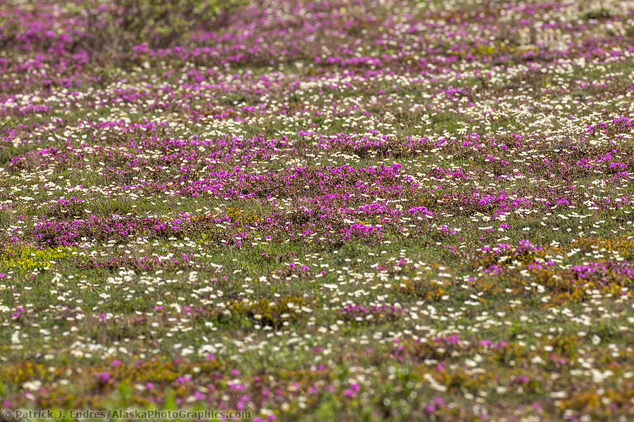 Spring wildflowers carpet the Arctic tundra in the Brooks Range, Alaska. (Patrick J. Endres / AlaskaPhotoGraphics.com)