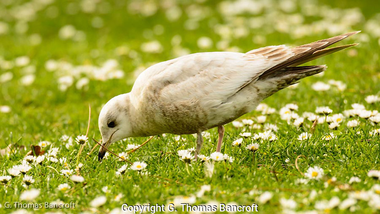 The young Mew Gull walked back and forth across the lawn searching for prey in the green grass (G. Thomas Bancroft)