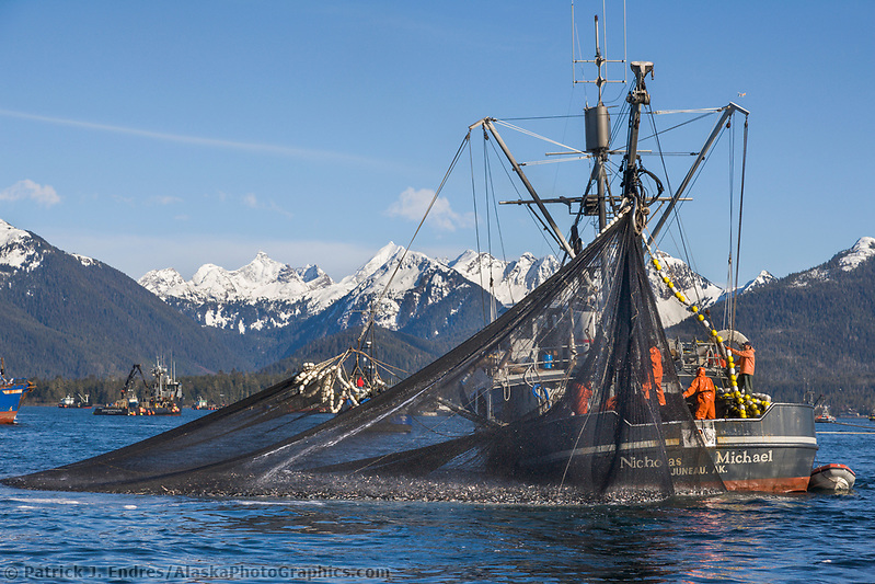 Cape purse seiner commercial fishing vessel Nicholas Michael draws a net full of Pacific Herring tight during the first 2006 Sitka Sac Roe Herring fishery opener on the north side of Middle island in Sitka Sound, March 2006. (Patrick J. Endres / AlaskaPhotoGraphics.com)