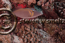 Lei Triggerfish, Sufflamen bursa, humuhumu, (Bloch & Schneider, 1801), Maui Hawaii (Steven Smeltzer)