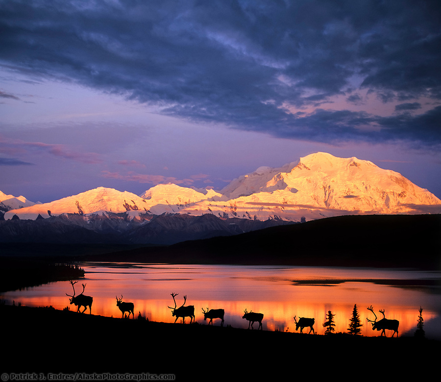 DIGITAL COMPOSITE IMAGE: Herd of caribou walks along the tundra by Wonder Lake with alpenglow on Mt Denali in the distance, Denali National Park, Alaska (© Patrick J Endres / www.AlaskaPhotoGraphics.com)