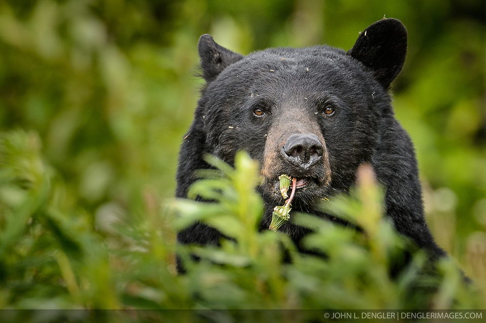 An American black bear (Ursus americanus), eats dandelions just outside the boundary of Kluane National Park and Preserve along Yukon Highway 3, near Gribbles Gulch in the Yukon Territory, Canada. While most of a black bear's diet is vegetation, black bears are omnivores meaning that they eat both plants and animals (grasses, berries, roots, insects, fish and mammals). Black bears typically weight 200 to 600 pounds. Not all black bears are black in color -- some are brown or even blond. They are most easily distinguished apart from grizzly bears by the lack of the pronounced shoulder hump found in a grizzly bear. The black bear is not considered to be a threatened species, though care to keep them from getting human food and garbage is needed to protect them from conflicts with humans. Kluane National Park and Reserve is known for it's  massive mountains, spectacular glacier and icefield landscapes including Canada's tallest peak, Mount Logan (19,545 ft.). The 5.4 million acre park is also known for it's wildlife, including grizzly bears, wolves, caribou and Dall sheep. The park is one of a collection of U.S. and Canadian national and provincial parks that form the largest international protected area in the world. Kluane National Park and Reserve was selected as a UNESCO World Heritage Site for being an outstanding wilderness of global significance. EDITORS NOTE: Image is a slightly cropped version of Image ID: I0000hi_N20NHKOQ. (John L. Dengler)