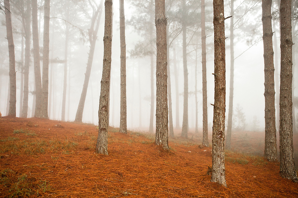 Pine forests of the Massif de la Selle, rising south of Port-au-Prince. (Robin Moore)