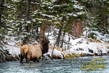 "A Bull Elk in the Madison River of Yellowstone National Park. (© Daryl Hunter's ""The Hole Picture""/Daryl L. Hunter)"