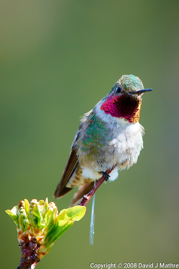 Broad-tailed Hummingbird Marking Its Territory at Lily Lake in Rocky Mountain National Park. Image taken with a Nikon D300 and 80-400 mm VR lens (ISO 250, 400 mm, f/8, 1/125 sec). (David J Mathre)