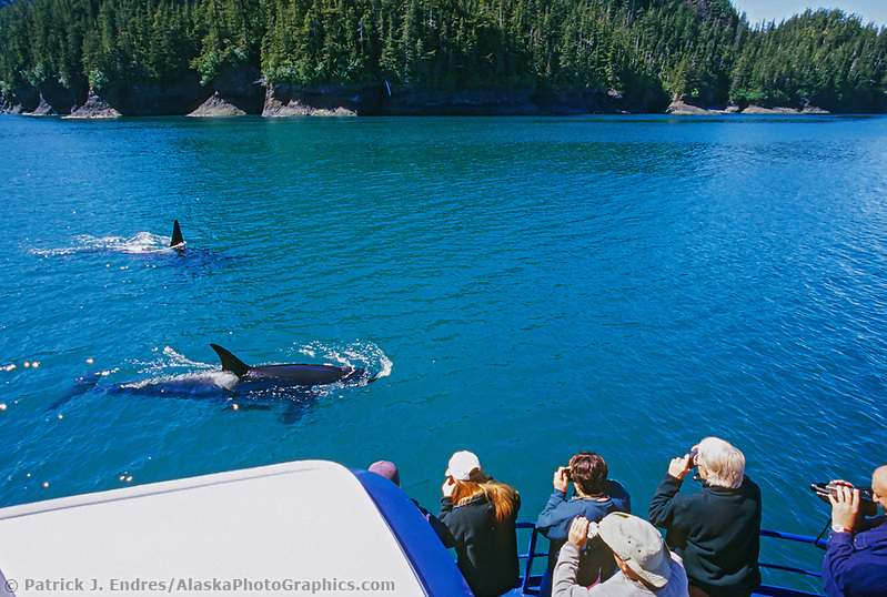 Alaska whale photos: Tourists view and photography Killer Whales, (Orcas) from the bow of a boat in northern Prince William Sound, Alaska. (Patrick J. Endres / AlaskaPhotoGraphics.com)