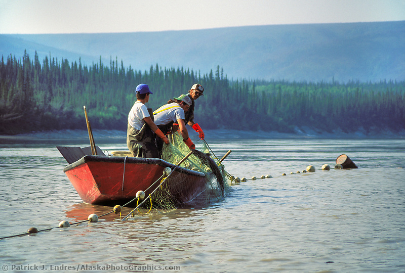 Fishermen in a boat check the gill net while subsistence fishing for King salmon on the Yukon river, interior Alaska. (Patrick J. Endres / AlaskaPhotoGraphics.com)