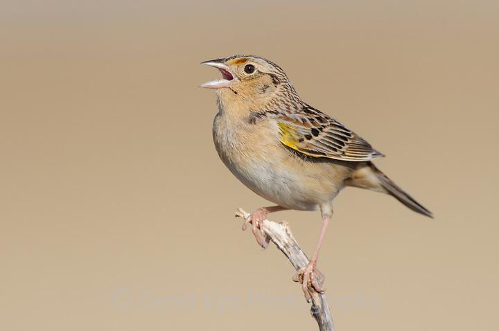 Singing adult male Grashopper Sparrow (Ammodramus savannarum). Cimarron National Grassland, Kansas. April. (Gerrit Vyn)