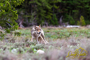 Pacific Creek Grey Wolf, alpha female, Yellowstone National Park (Daryl Hunter's &quot;The Hole Picture&quot;  Daryl L. Hunter has been photographing the Yellowstone Region since 1987, when he packed up his view camera, Pentex 6X7, and his 35mms and headed to Jackson Hole Wyoming. Besides selling photography Daryl also publ/Daryl L. Hunter,)