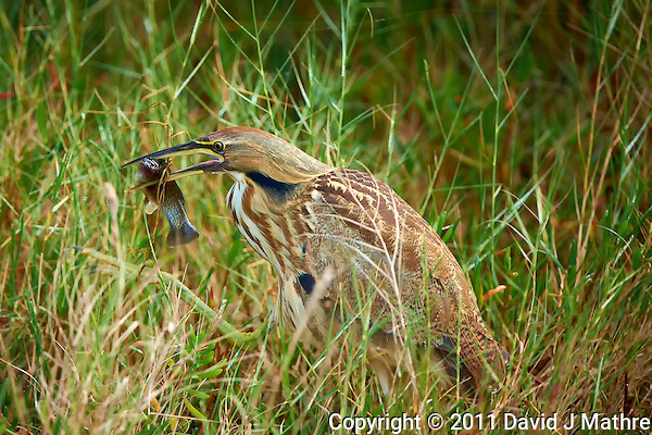 OK, I Caught This Fish -- Now How Do I Swallow It. A Reclusive American Bittern Caught Fishing along Black Point Wildlife Drive in Merritt Island Wildlife Refuge. Image taken with a Nikon D3x and 500 mm f/4 VR II lens (ISO 180, 500 mm, f/4, 1/250 sec). (David J Mathre)