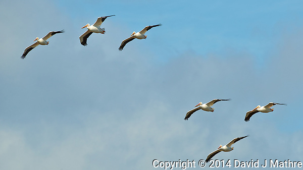 Six White Pelicans in Flight. Merritt Island National Wildlife Refuge. Image taken with a Nikon D3x camera and 500 mm f/4 VR lens (ISO 280, 500 mm, f/8, 1/1000 sec). (David J Mathre)