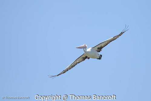The Australian pelican turned with fixed wings and started to sail right toward us. He looked like a equisite ballerina coming down from a high jump. As it slid by me, I could see the details of its bill, pouch and feathers. (G. Thomas Bancroft)