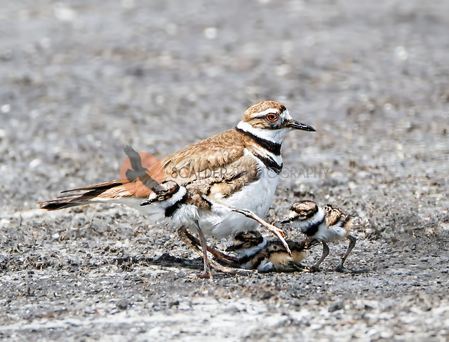 Adult Killdeer with three chicks, one hiding under  the adult (Sandra Calderbank, sandra calderbank)