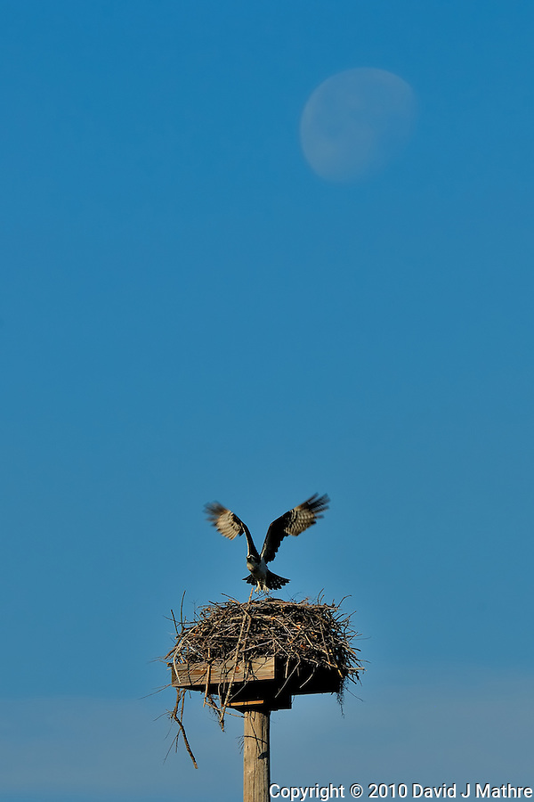 Osprey Landing on Nest under a Nearly Full Moon. Image taken with an Nikon D300 and 200 mm f/2 VR lens with TC-17 II (ISO 200, 340 mm, f/11, 1/340 sec). (David J Mathre)