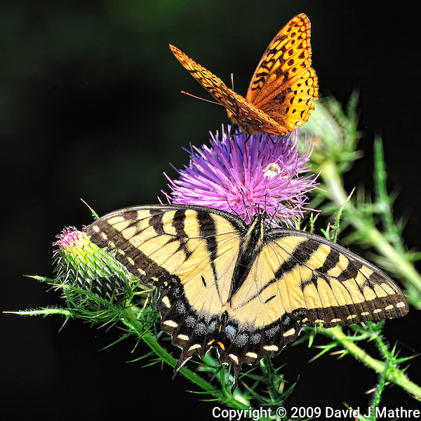 Two Butterflies and a Crab Spider on a Thistle Bloom. Summer Nature at the Sourland Mountain Preserve in New Jersey. Image taken with a Nikon D3x and 70-300 mm VR lens (ISO 640, 300 mm, f/11, 1/250 sec).. (David J. Mathre)