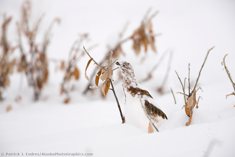 Willow ptarmigan in a transition stage to winter plumage is well camouflaged among willow branches, Brooks Range, Arctic, Alaska. (Patrick J. Endres / AlaskaPhotoGraphics.com)